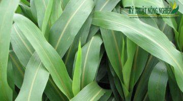 Giống cỏ Super BMR, cỏ cao lương Sudan