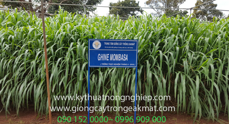 giống cỏ sả lá lớn Ghine Mombasa