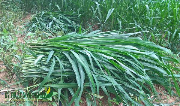 giống cỏ sả lá lớn