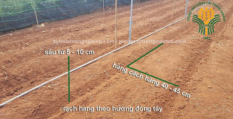Làm đất trồng cỏ Ghine Mombasa