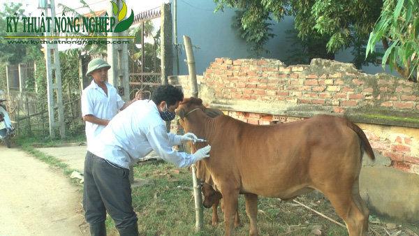 Bệnh ký sinh trùng đường máu ở trâu bò