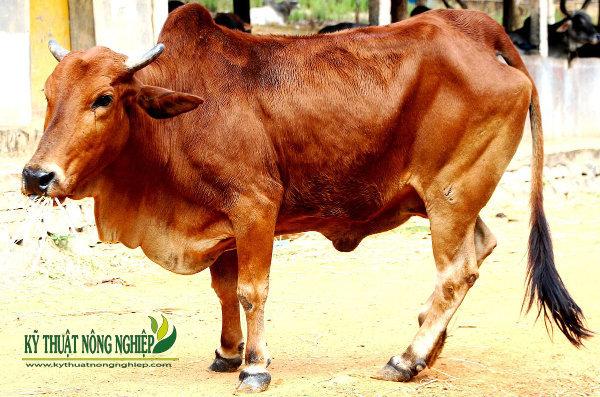 Cách chọn bò để nuôi vỗ béo