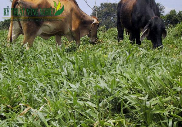Cỏ Mulato II chịu dẫm đạp nên thích hợp cho chăn thả gia súc