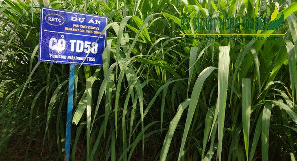 Giống cỏ Ghine TD58