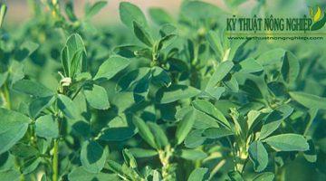 Giống cỏ linh lăng Alfalfa