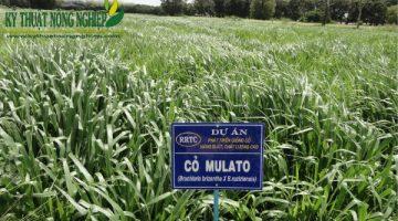 Giống cỏ Mulato II