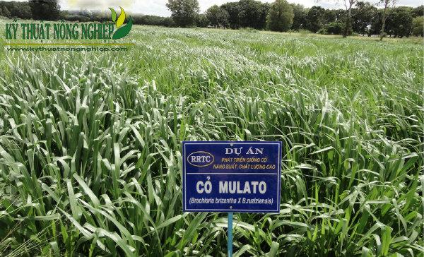 Giống cỏ Mulato II dễ trồng dễ chăm sóc, giá trị dinh dưỡng cao