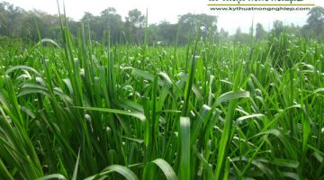 Giống cỏ Paspalum chịu ngập úng, khô hạn