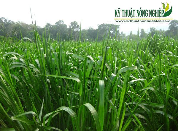 Giống cỏ Paspalum