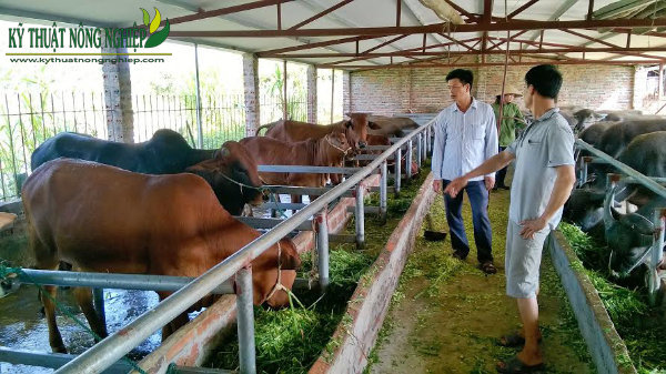 Kỹ thuật nuôi bò vỗ béo
