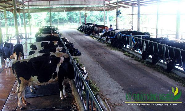 Sử dụng tinh phân định giới tính cái trong chăn nuôi bò sữa