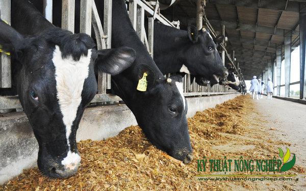 Kỹ thuật ủ chua cỏ làm thức ăn chăn nuôi