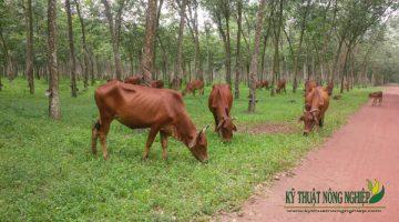 Khắc phục hội chứng rối loạn sinh sản ở bò