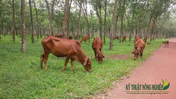 Mô hình nuôi bò bán công nghiệp ở nông thôn