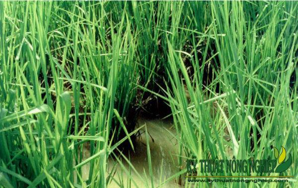 Là giống cỏ duy nhất hiện nay chịu được ngập úng, đất phèn nên rất phù hợp để trồng ở các tỉnh miền tây nam bộ
