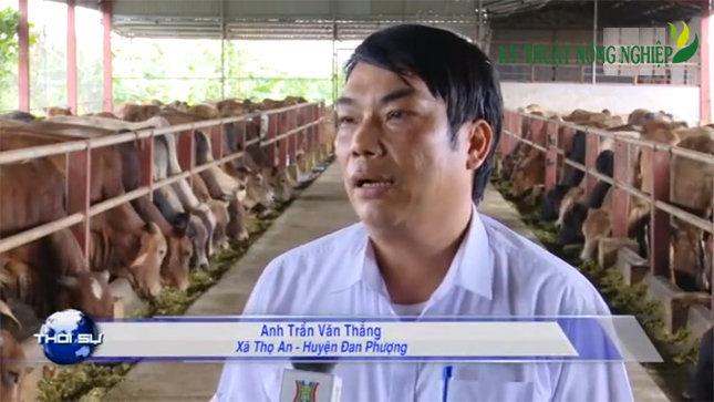 Theo anh Trần Văn Thắng các giống bò nhập ngoại hiện nay cho hiệu quả kinh tế vượt trội so với các giống bò nội