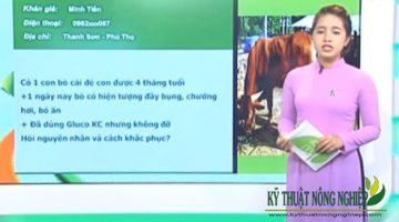 Cách điều trị hiệu quả bò bị ngộ độc
