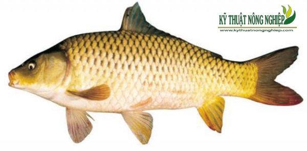 Cá chép