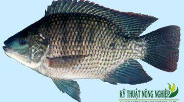 Các loài cá thích hợp nuôi trong ao nước ngọt