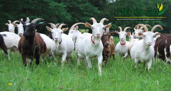Các nguồn thức ăn trong chăn nuôi dê