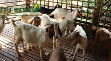 Mô hình cải tạo đàn dê bằng phương pháp thụ tinh nhân tạo