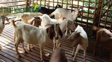 Những lưu ý quan trọng trong kỹ thuật chăn nuôi dê