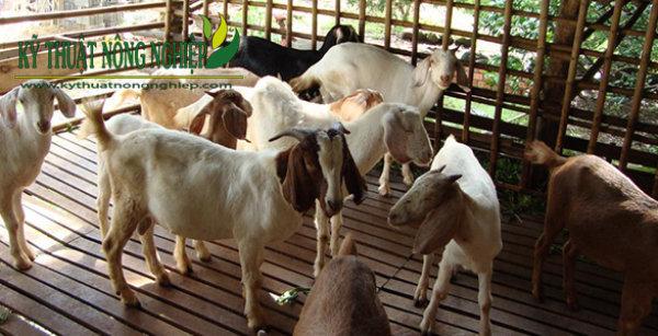 Bà con cũng cần lưu ý đến chuồng trại trong chăn nuôi dê