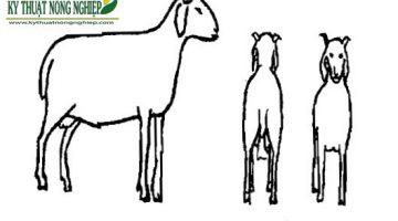 Phương pháp chọn giống dê thông qua ngoại hình