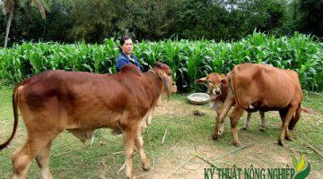Giống cỏ Cao Lương Sudan lai Premium ss1055