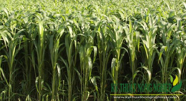 Giống cỏ Cao Lương Sudan Premium ss1055