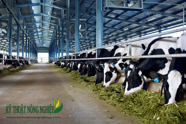 Giống cỏ nuôi bò sữa