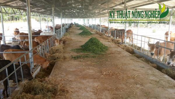 Giống cỏ nuôi bò thịt