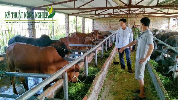 Giống cỏ nuôi bò