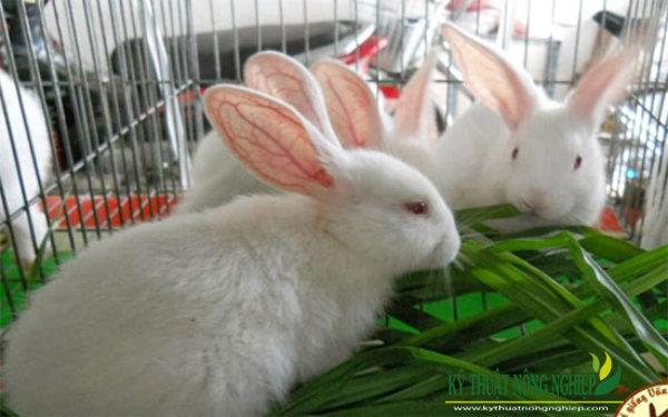 Giống cỏ nuôi thỏ