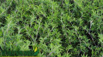 Giống cỏ Stylo (nhập khẩu Thái Lan)