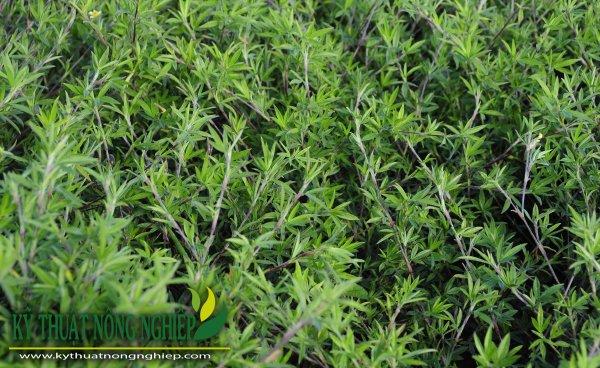 Giống cỏ Stylo