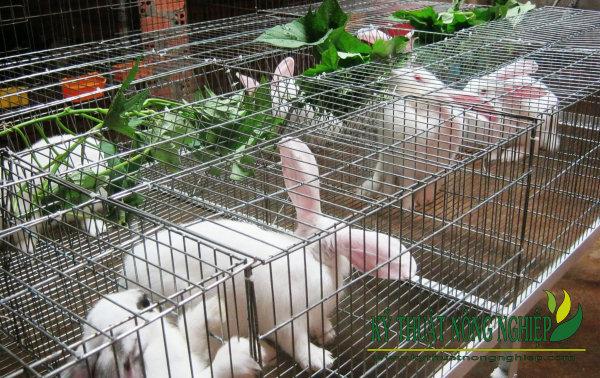 Kỹ thuật nuôi thỏ lấy thịt