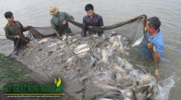 Mô hình nuôi ghép cá trắm cỏ đạt hiệu quả kinh tế cao