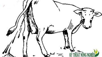 Cách phòng và điều trị bệnh dịch tả ở trâu bò