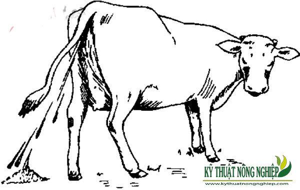 bệnh dịch tả ở trâu bò