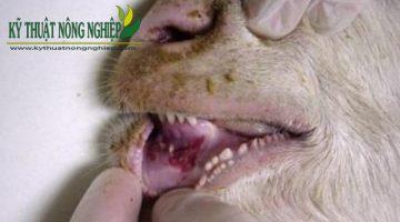 Bệnh lở mồm long móng ở dê, cách phòng và điều trị
