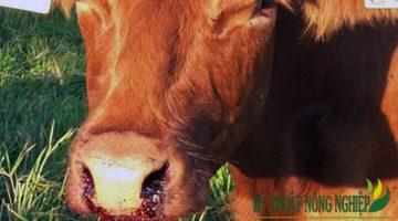 Cách phòng và điều trị bệnh nhiệt thán ở trâu bò