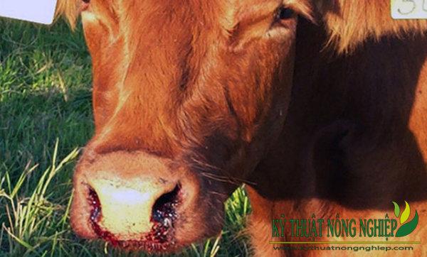 Dấu hiệu nhận biết bệnh nhiệt thán ở trâu bò