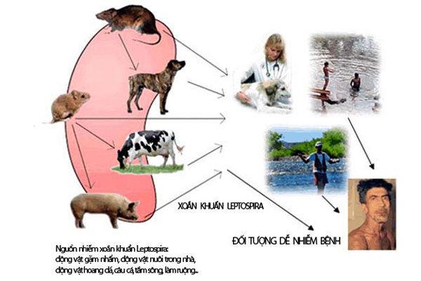 bệnh xoắn khuẩn ở trâu bò