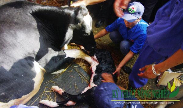 Đỡ đẻ cho bò sữa