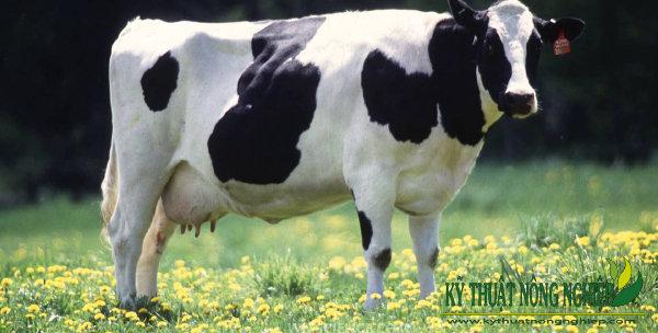 Giống bò sữa Holstein Friesian Hà Lan