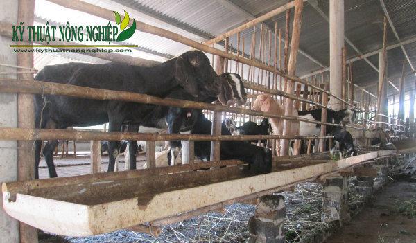 Mô hình nuôi dê làm giàu vùng ven biển tỉnh Trà Vinh