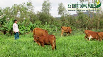 Mô hình nuôi bò làm giàu ở Đồng Tháp