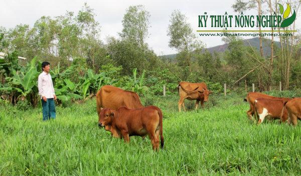 Bài toán chăn nuôi bò thịt nông hộ