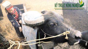 Cách phòng và điều trị bệnh cước chân ở trâu bò
